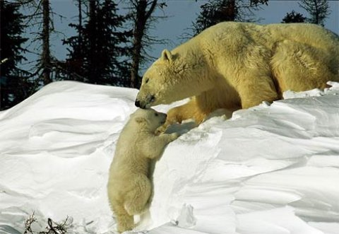 sense-up-polar-bear-and-baby.jpg