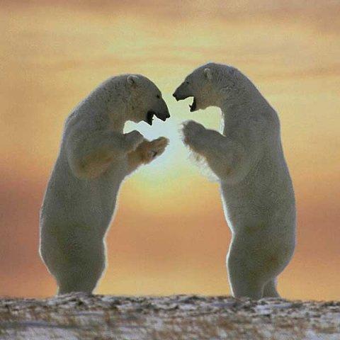 sense-up-polar-bear.jpg
